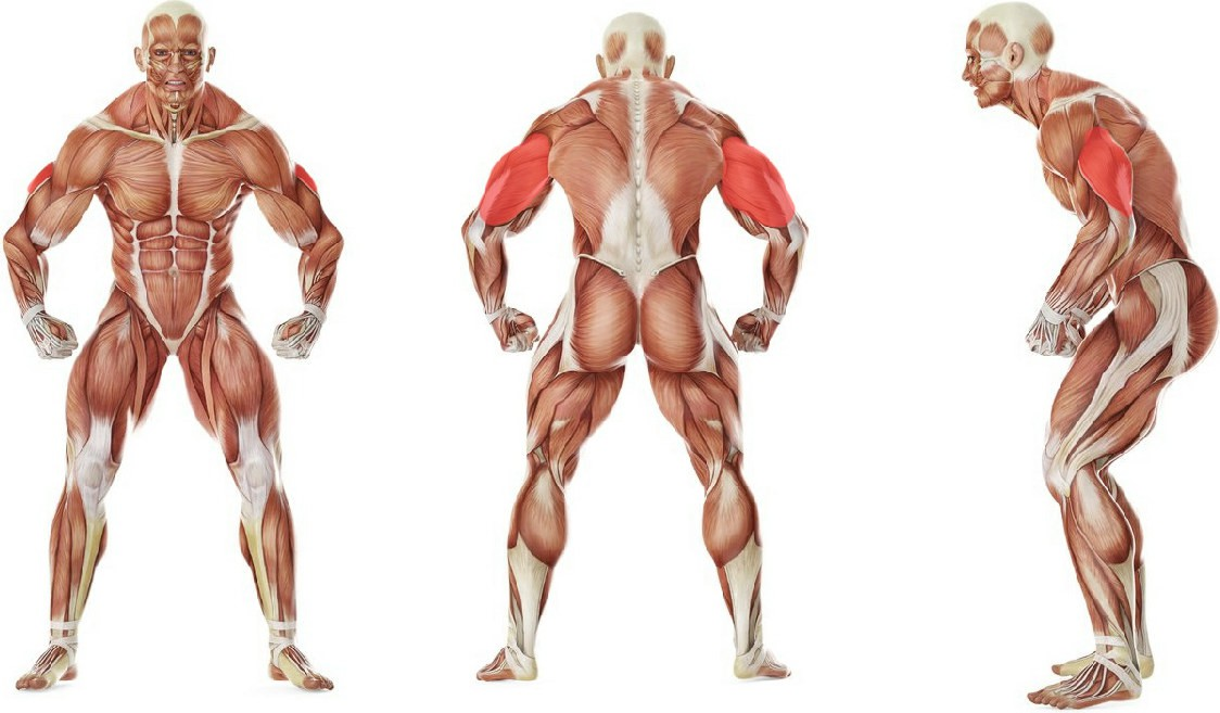 What muscles work in the exercise Triceps Pushdown